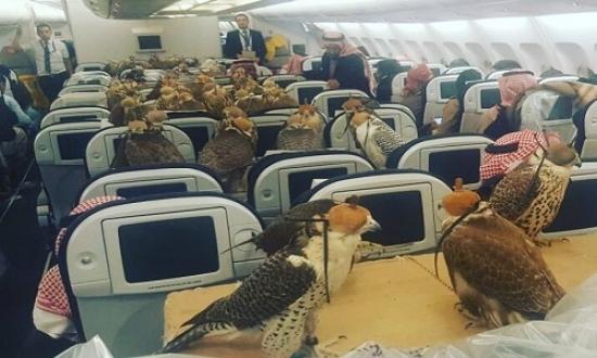 Hoàng tử Saudi mua vé máy bay cho 80 con chim ưng Hoàng tử Saudi mua vé máy bay cho 80 con chim ưng